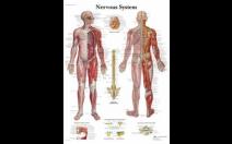 두뇌 및 신경계 차트
